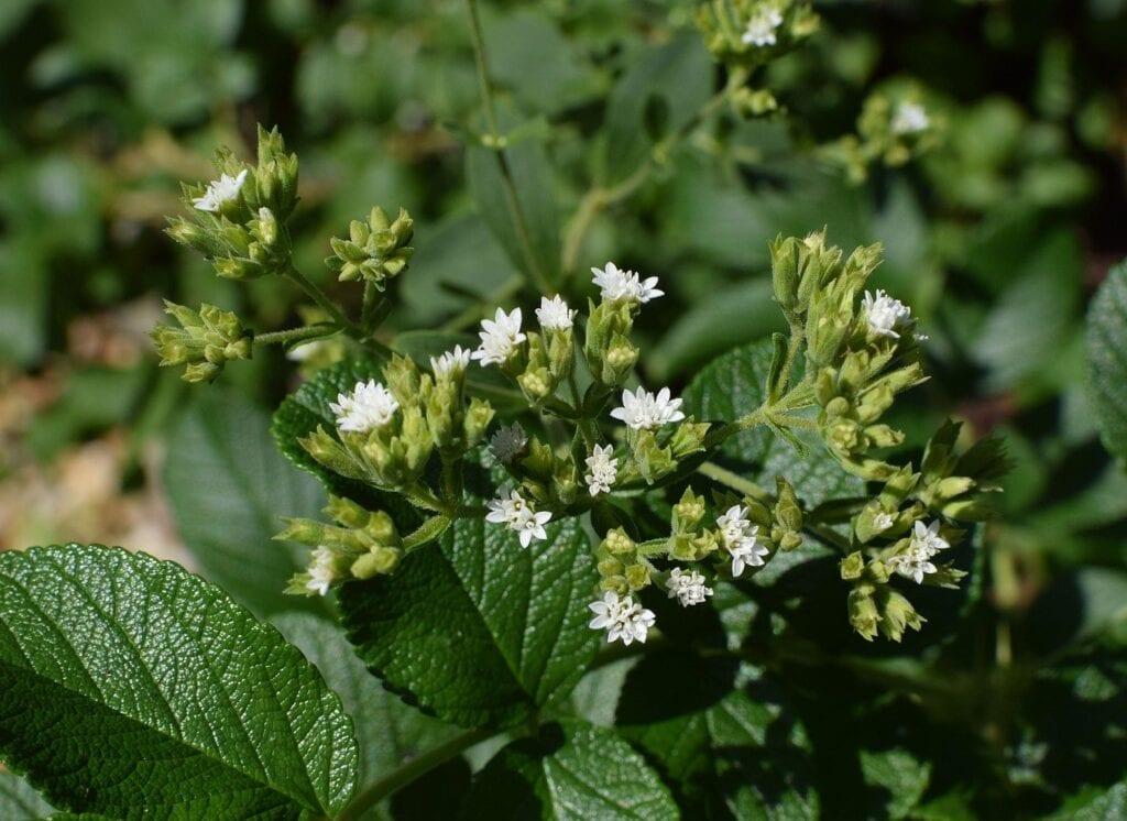 Producto de stevia retirado del mercado debido al peligro de aspartamo para fenilcetonuria